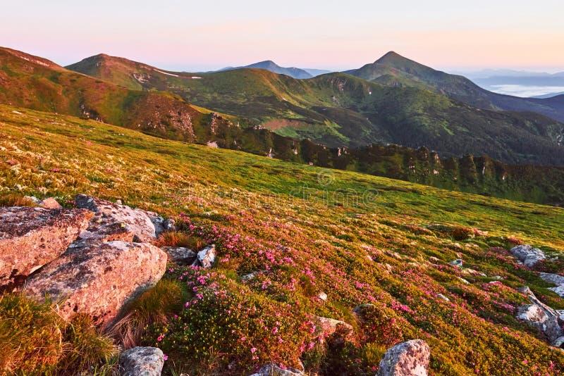 Różaneczniki kwitną w pięknej lokaci w górach piękny zachód słońca Kwitnący różaneczniki w górach zdjęcie stock