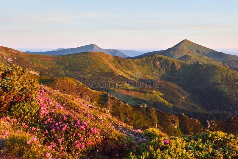 Różaneczniki kwitną w pięknej lokaci w górach piękny zachód słońca Kwitnący różaneczniki w górach fotografia stock
