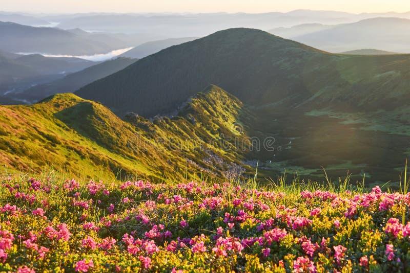 Różaneczniki kwitną w pięknej lokaci w górach piękny zachód słońca Kwitnący różaneczniki w górach obraz royalty free