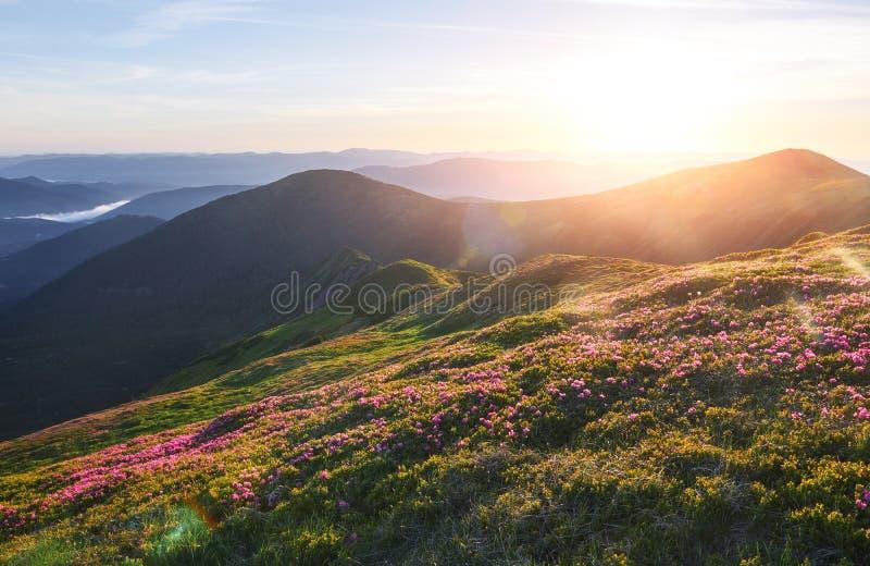Różaneczniki kwitną w pięknej lokaci w górach piękny zachód słońca Kwitnący różaneczniki w górach obrazy royalty free