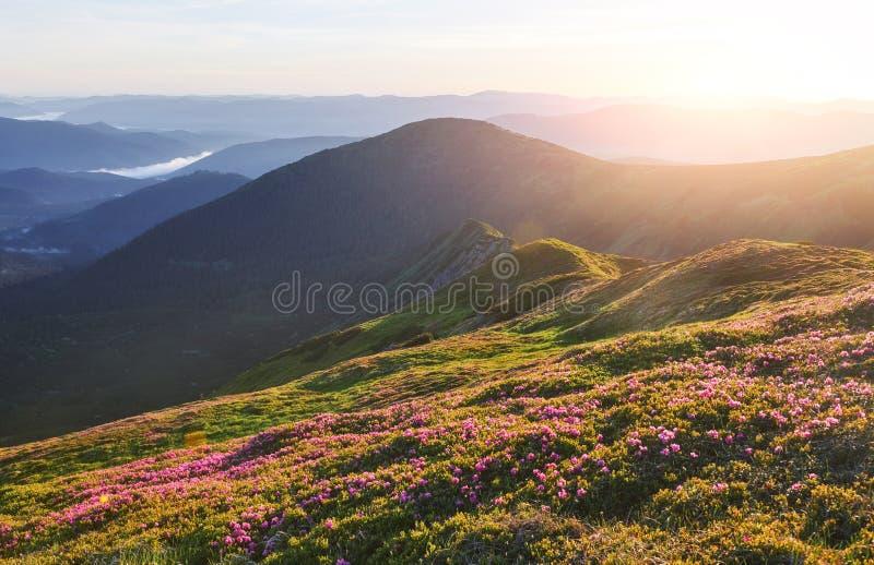 Różaneczniki kwitną w pięknej lokaci w górach piękny zachód słońca Kwitnący różaneczniki w górach obraz stock
