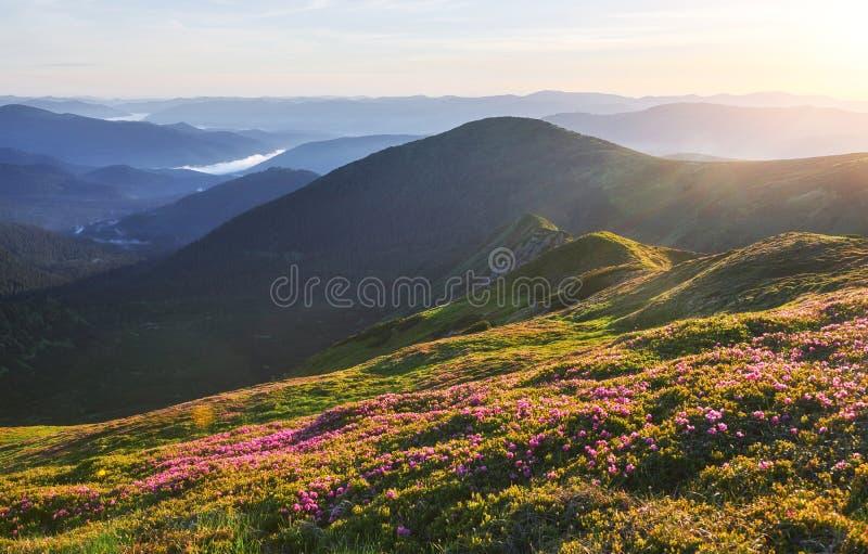Różaneczniki kwitną w pięknej lokaci w górach piękny zachód słońca Kwitnący różaneczniki w górach zdjęcia royalty free