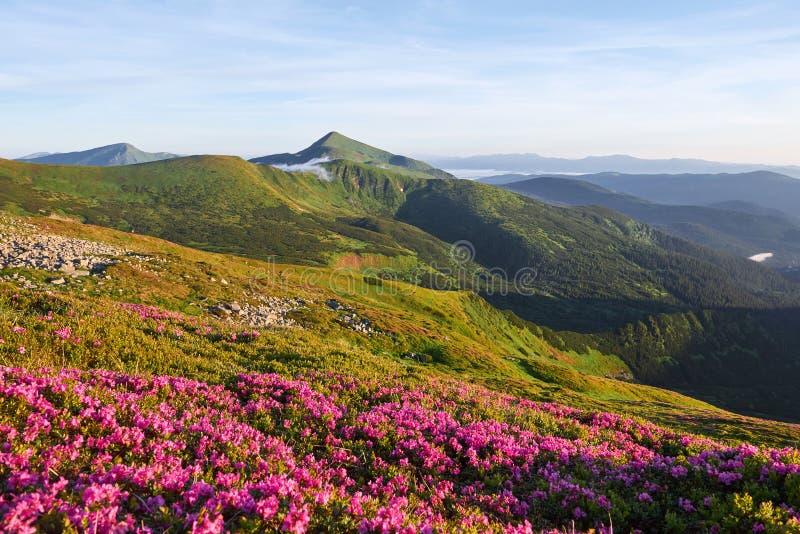 Różaneczniki kwitną w pięknej lokaci w górach piękny zachód słońca Kwitnący różaneczniki w górach zdjęcia stock