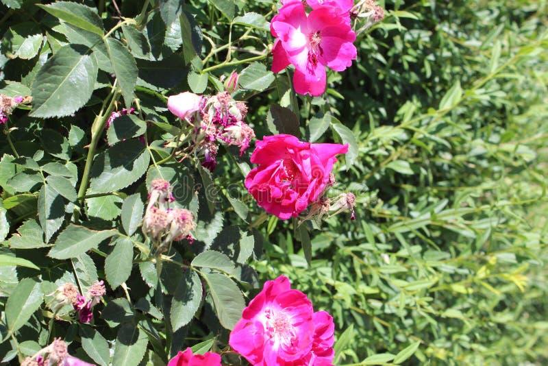 Różanego mech Portulaca grandiflora b zdjęcia stock
