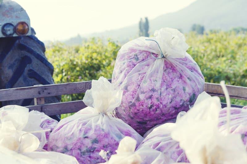Różanego zrywanie ciężarówki plastikowego worka aromata plantaci okwitnięcia kwiatu menchii oleju róży Kosmetyczna woda zdjęcia stock