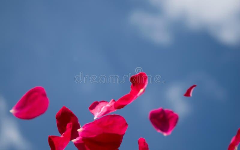 Różani płatki unosi się w jasnej powietrze łamliwości i pięknie zdjęcia stock