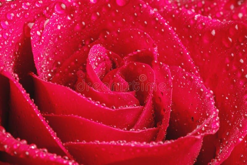 Różani płatki w kroplach wodna makro- fotografia obraz stock