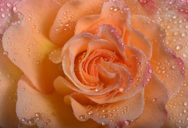 Różani płatki w wodnych kroplach zdjęcie stock