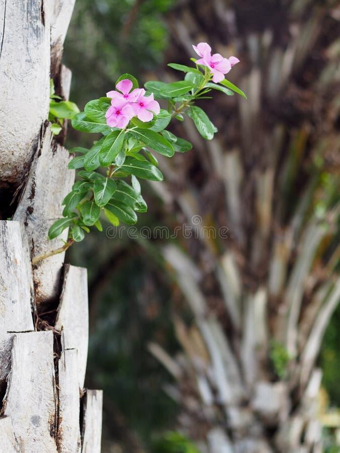 Różany barwinek, Catharanthus roseus, dekoracyjna ziołowa roślina z colourful różowymi kwiatami zdjęcie royalty free
