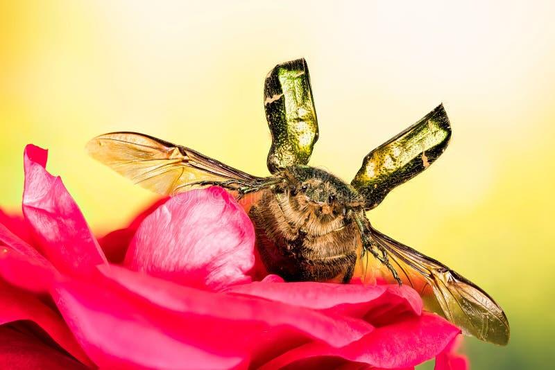 Różany Chafer, ściga, Cetonia aurata zdjęcie stock