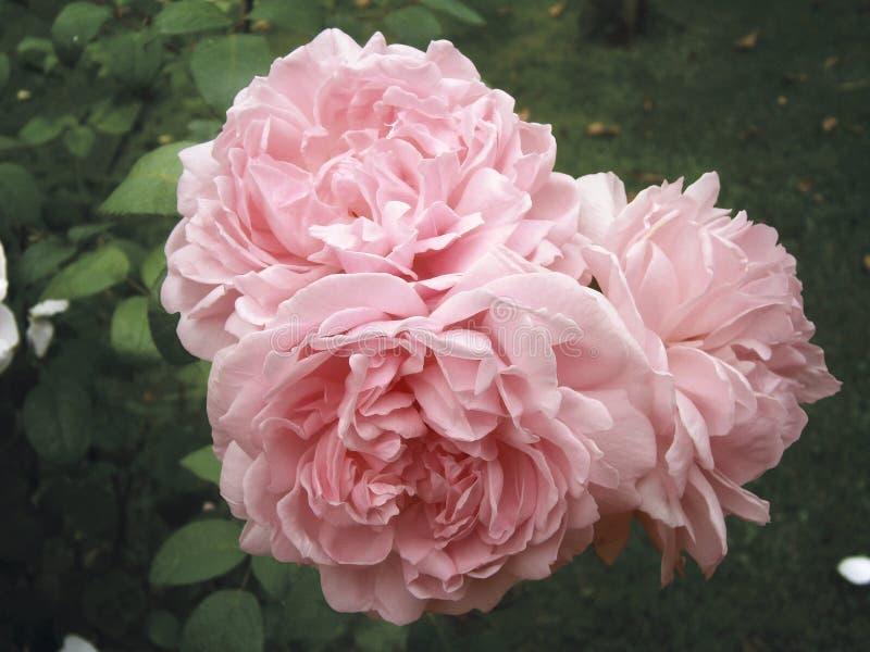 Różany Eglantyne obrazy royalty free