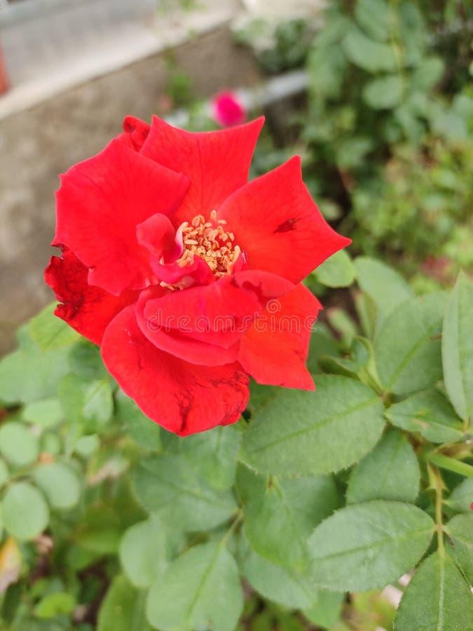 Różany kochanek obrazy royalty free