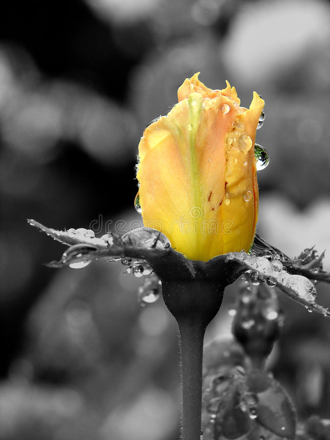 różany kolor żółty obrazy royalty free