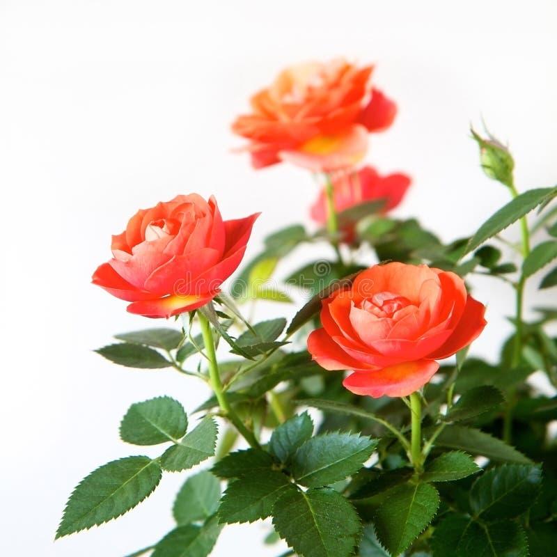 Różany krzak zdjęcia royalty free