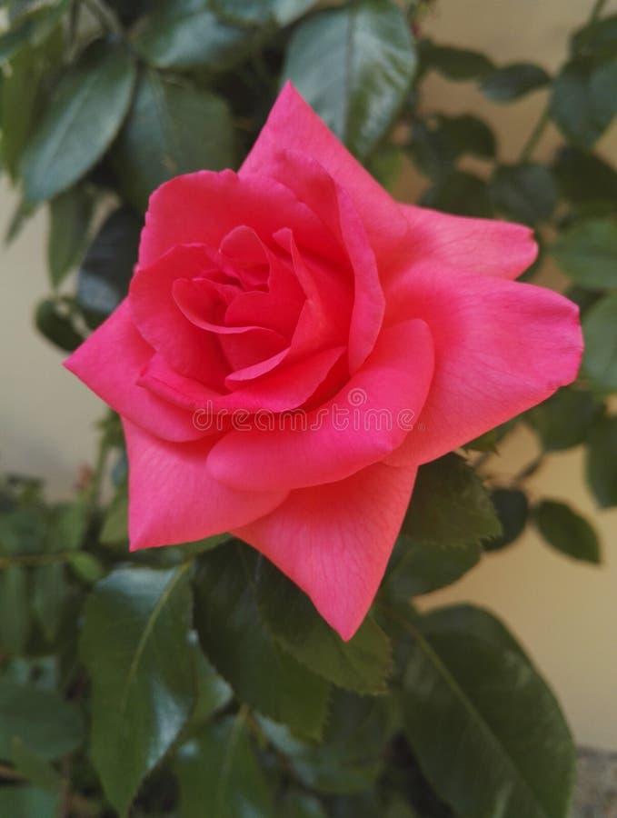 Różany krzak z ampuły kopii kwiatami ożywczość wzrastał obraz stock