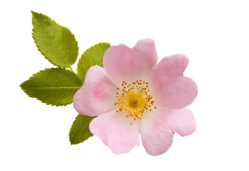 Różany modny kwiat odizolowywający obrazy stock