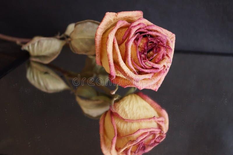 Różany odbicie fotografia stock