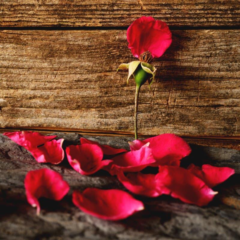 Różany płatków spadać obraz stock