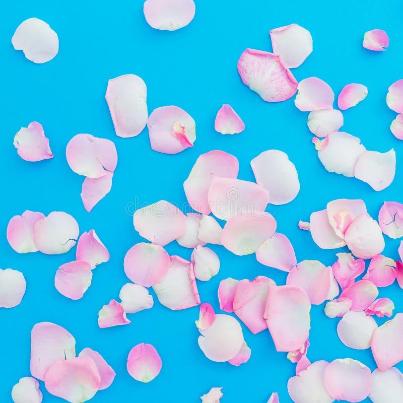 Różany płatka przygotowania na błękitnym tle Mieszkanie nieatutowy, odgórny widok Menchia kwitnie teksturę czerwona róża zdjęcia royalty free