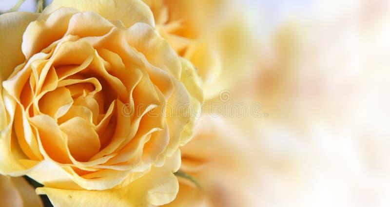 różany tła kolor żółty zdjęcia stock