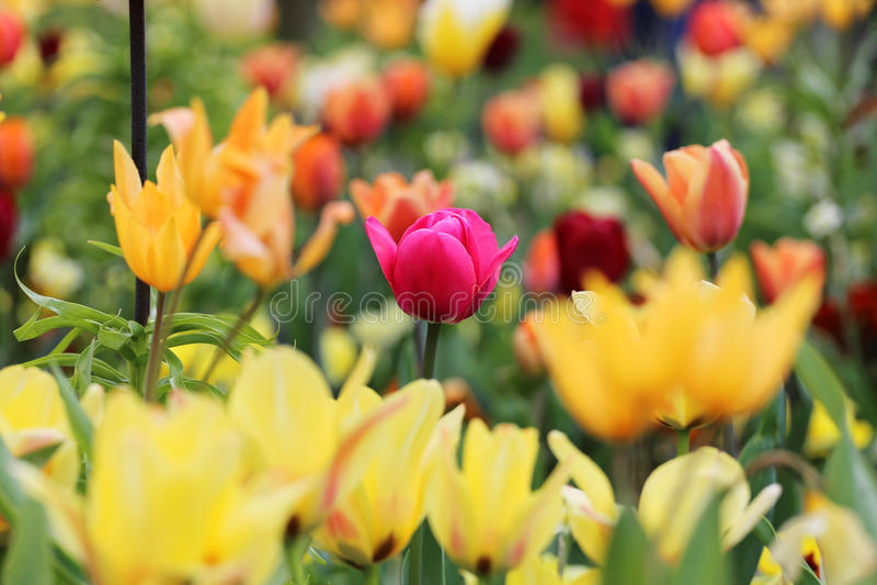 Różany tulipan wśród koloru żółtego obrazy royalty free