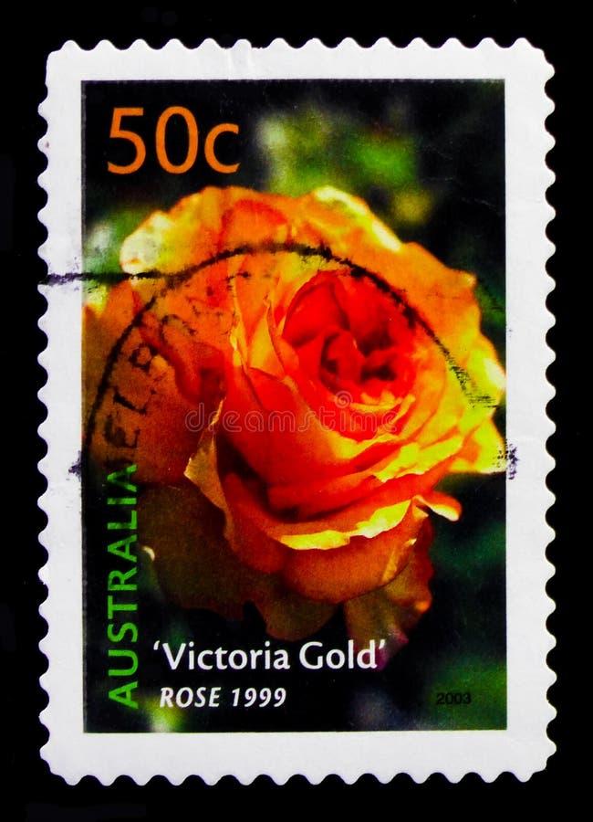Różany Wiktoria złoto, Cultivars seria około 2003, obrazy stock