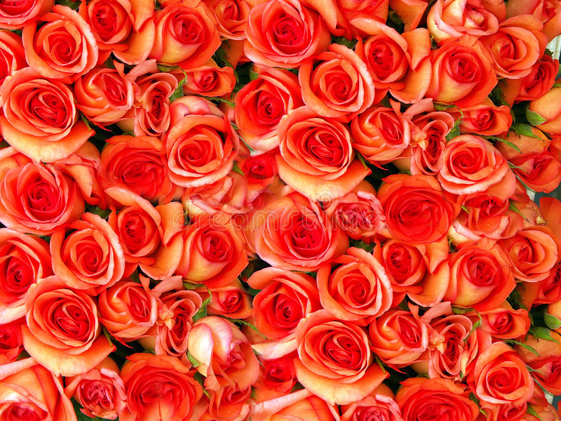 róże łóżkowe fotografia stock