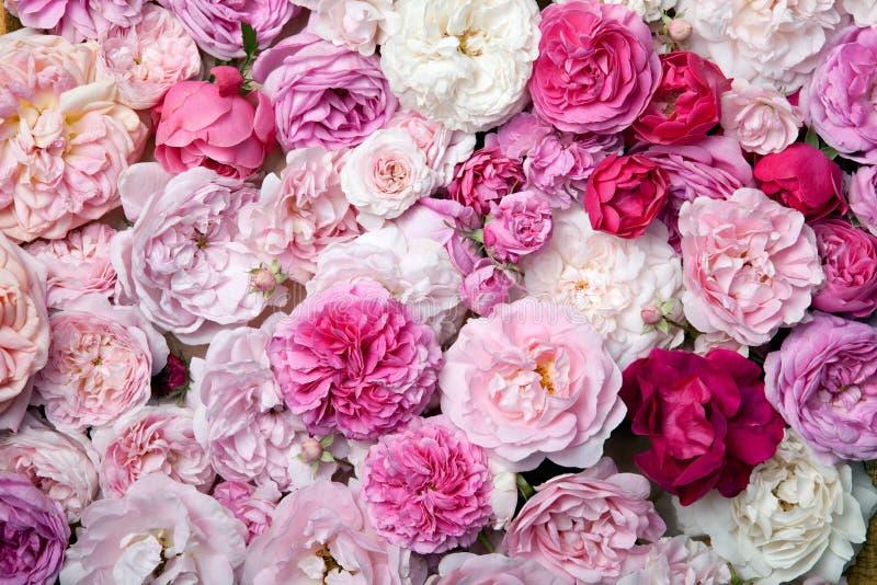 Róże. obraz stock