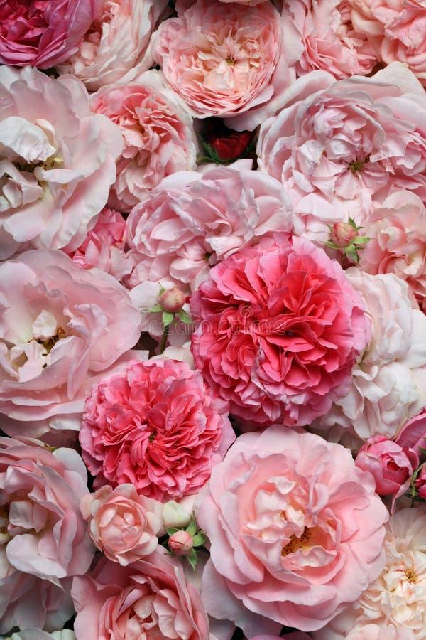 Róże. zdjęcie royalty free