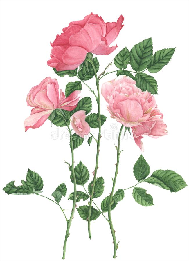 Róże, akwarela obraz na białym tle zdjęcie stock