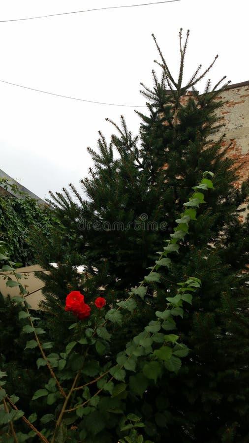 Róże i zieleń obraz stock