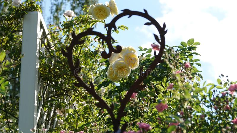 Róże które skupiają się przez serca fotografia royalty free