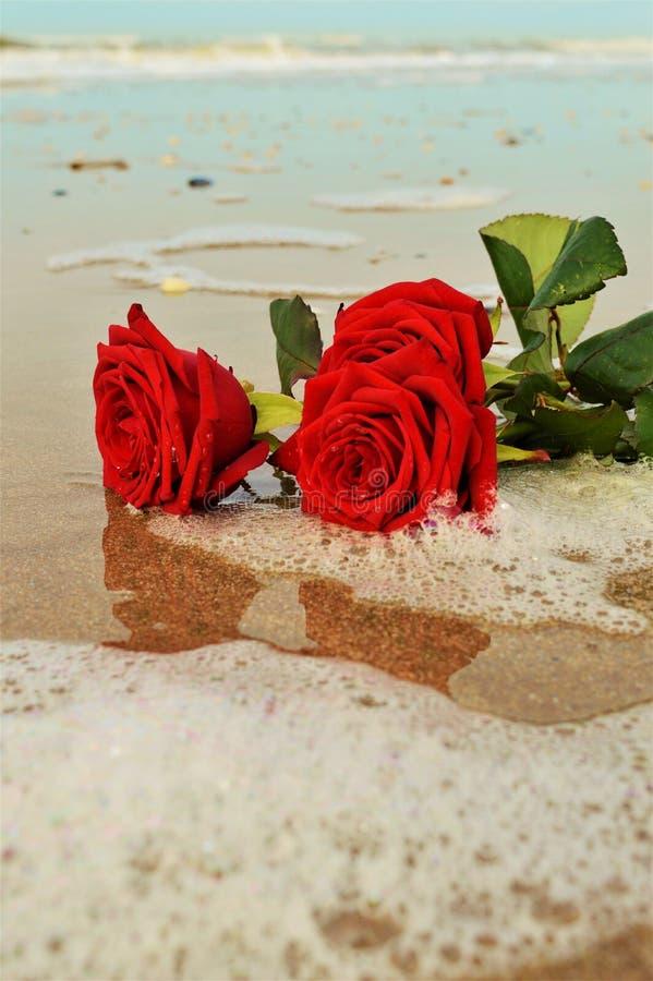 Róże na seashore obraz royalty free