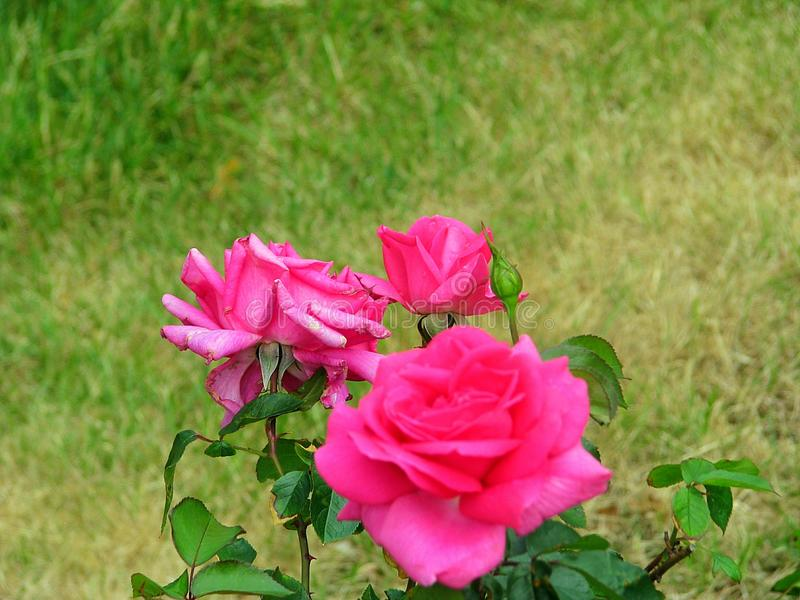 Róże od Holandia obraz royalty free