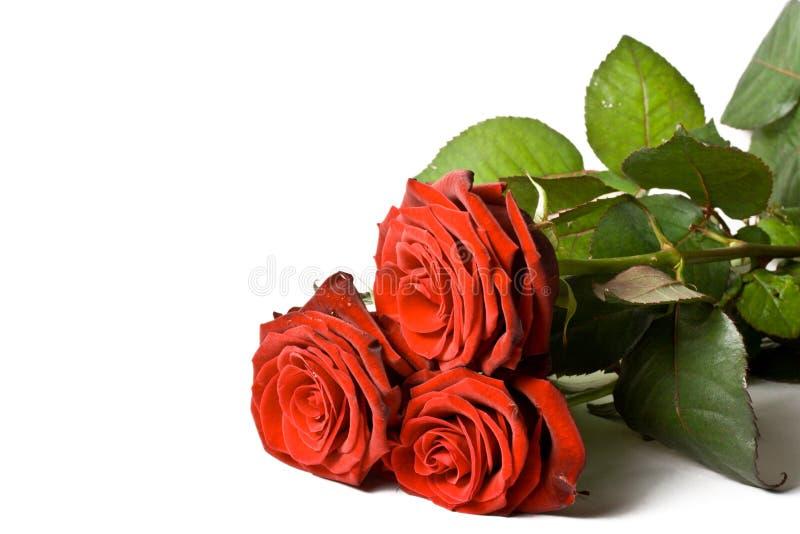 róże odosobnione 3 fotografia stock