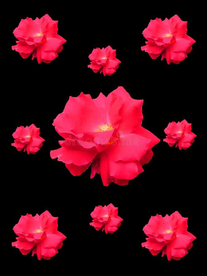 Róże Przeciw Prostemu tłu obrazy royalty free