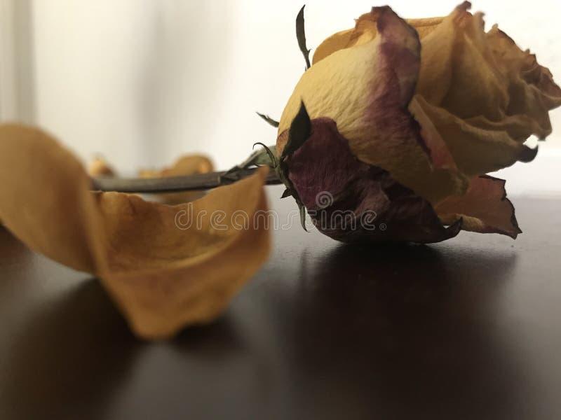 Róże są życiem obrazy royalty free