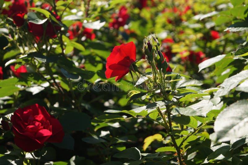 róże szkarłatne obraz stock