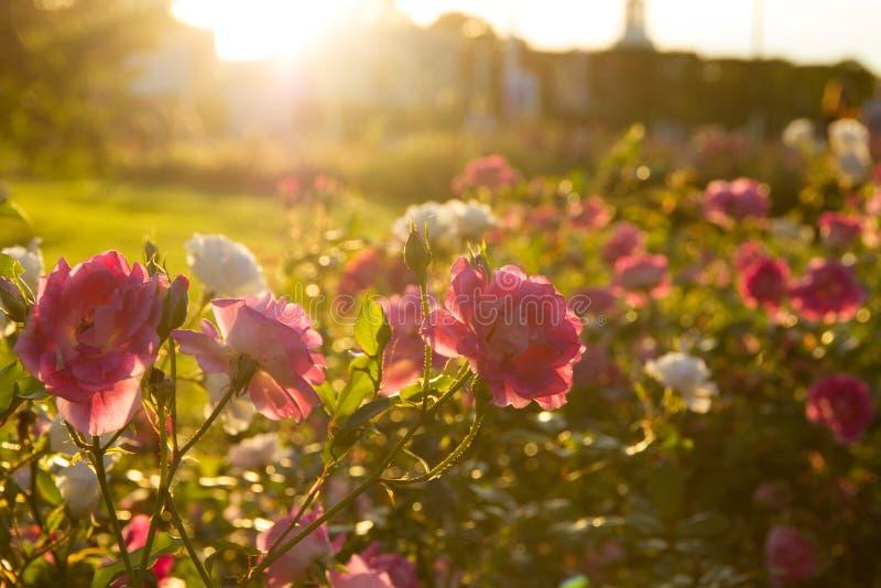 Róże w świetle słonecznym zdjęcie royalty free