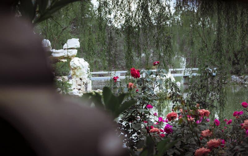 Róże w Chińskich ogródach zdjęcia stock
