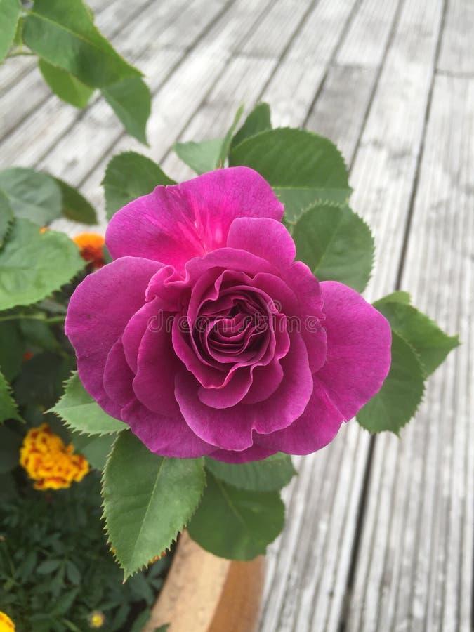 Róże w doniczkach obraz royalty free