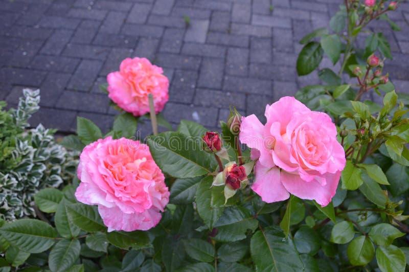 Róże w parku obraz royalty free