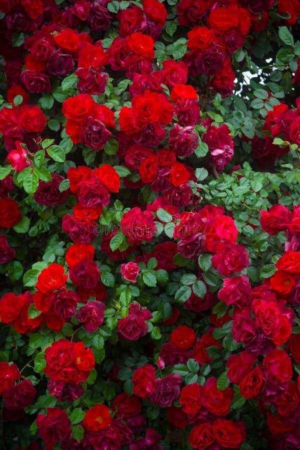 róże w tle zdjęcie stock