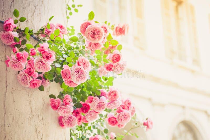 Róże wspina się na kolumnie w włoskim patiu zdjęcia royalty free