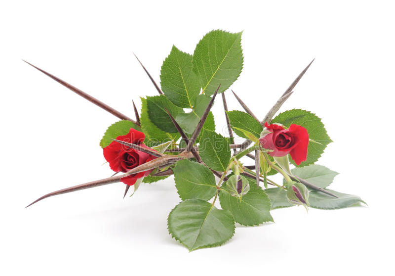 Róże z cierniami zdjęcia stock