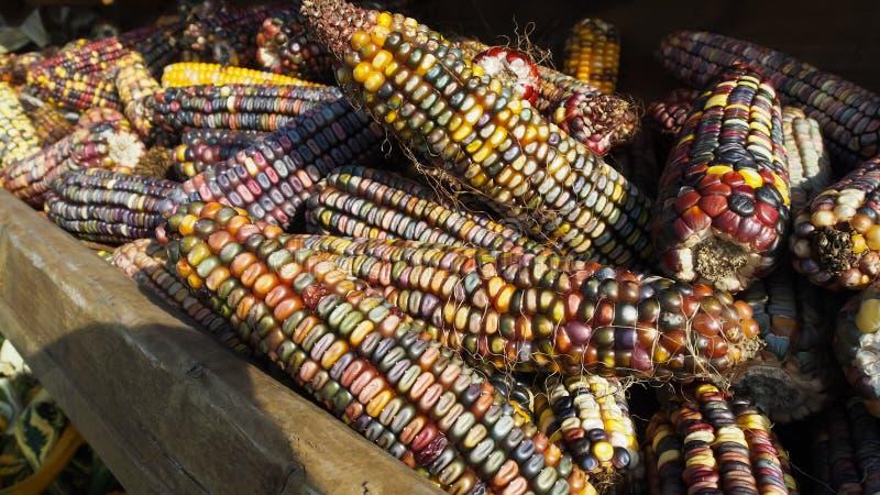 Różna kolorowa kukurudza po jesieni żniwa obraz stock