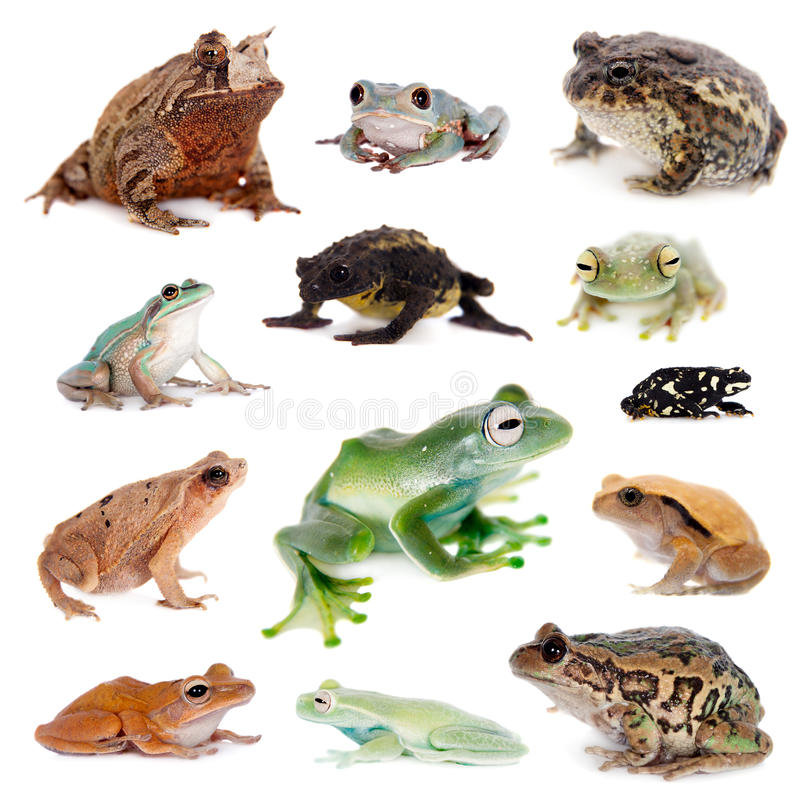 Różne żaby na bielu jakby obrazy royalty free