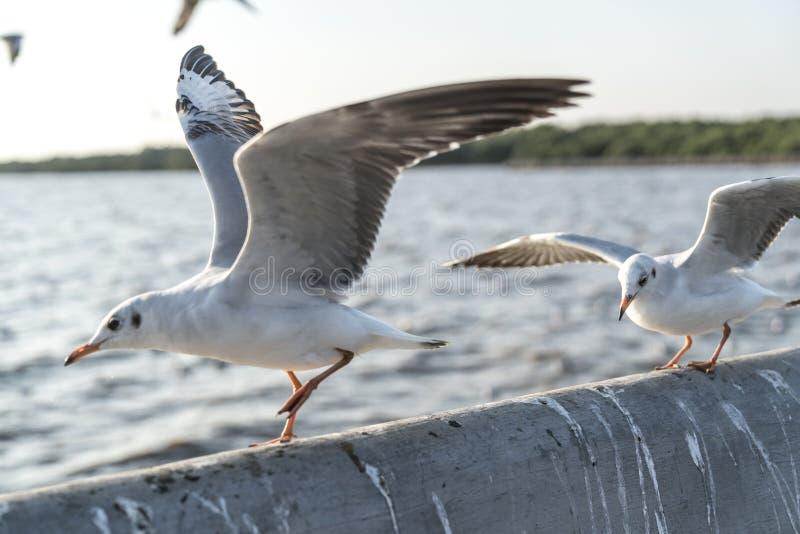Różne skrzydłowe pozycje seagulls które lądowali obrazy stock