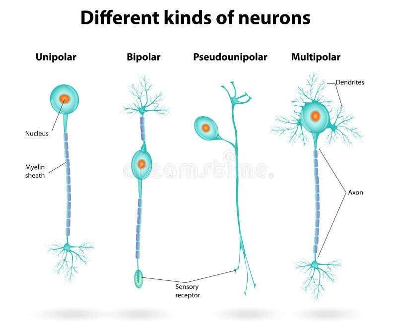 Różni rodzaje neurony royalty ilustracja