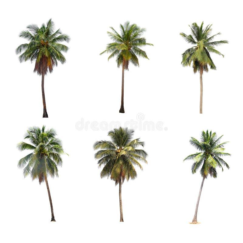 Różnica odizolowywająca na bielu kokosowy drzewo obrazy stock